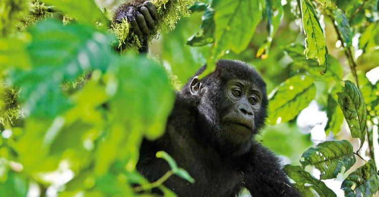 Mountain Gorilla @ www.mondberge.com