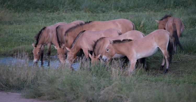 Przewalski's Horses © Grunewald