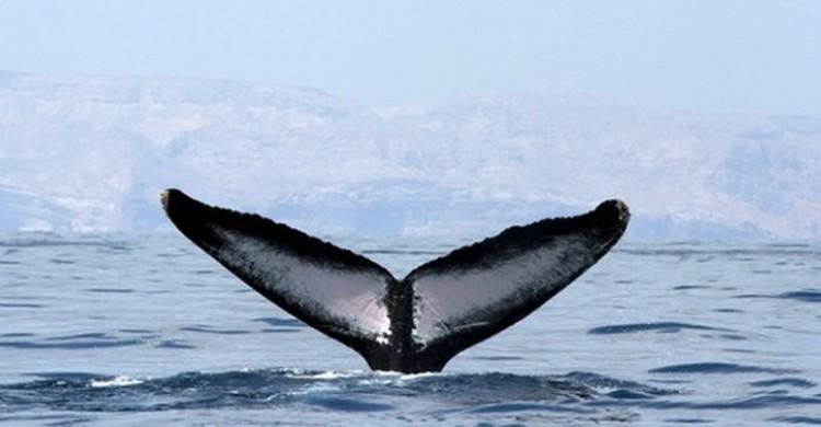Arabian Humpback Whale
