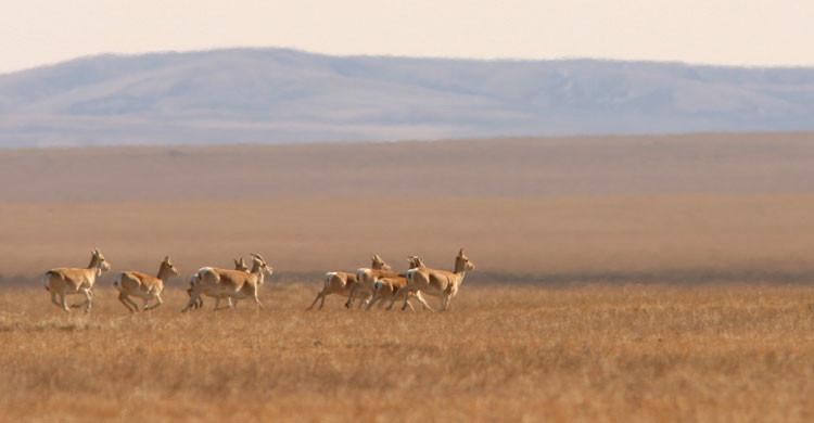 Mongolian Gazelles © Thomas Müller