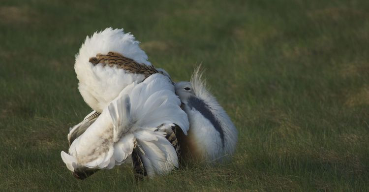 Male Great Bustard displaying © Rainer Raab