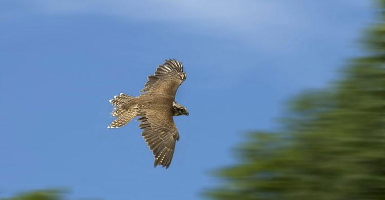 Saker Falcon © Image Broker Robert Harding