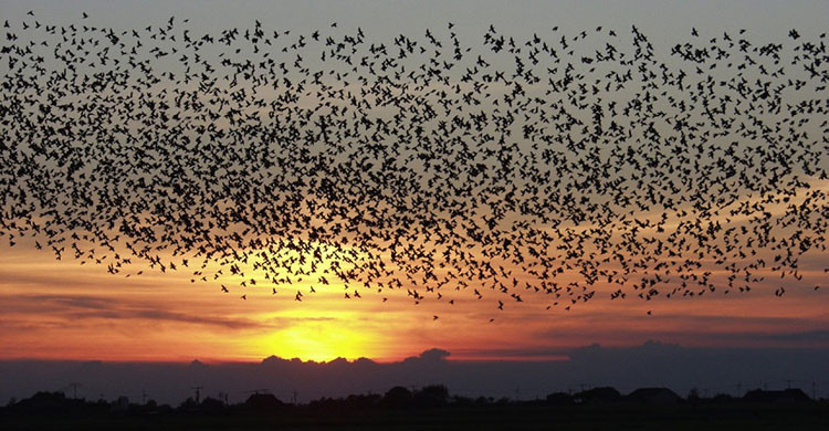 Sunset with starlings