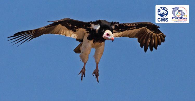 White-headed Vulture © Andre Botha