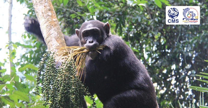 Protecting Chimps Is in Our Self-Interest