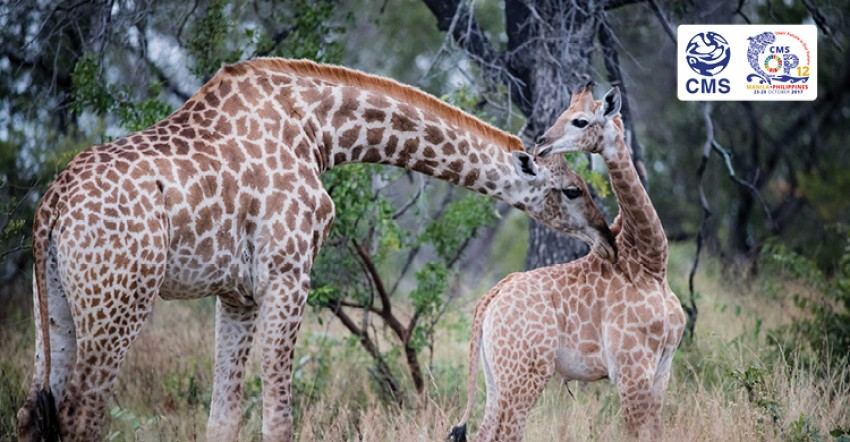 Giraffe Could Get First International Protection Measures at CMS