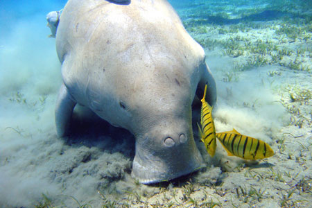 Dugong © Flickr Photos