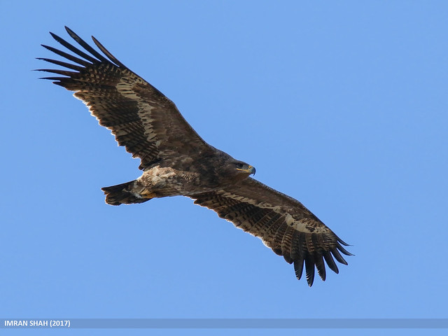 Steppe Eagle (Aquila nipalensis by Imran Shah - Creative Commons Attribution-ShareAlike 2.0 Generic (CC BY-SA 2.0) https://www.flickr.com/photos/gilgit2/28343880408