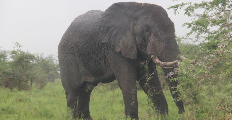 African elephant (Loxodonta africana)  © Clara Nobbe